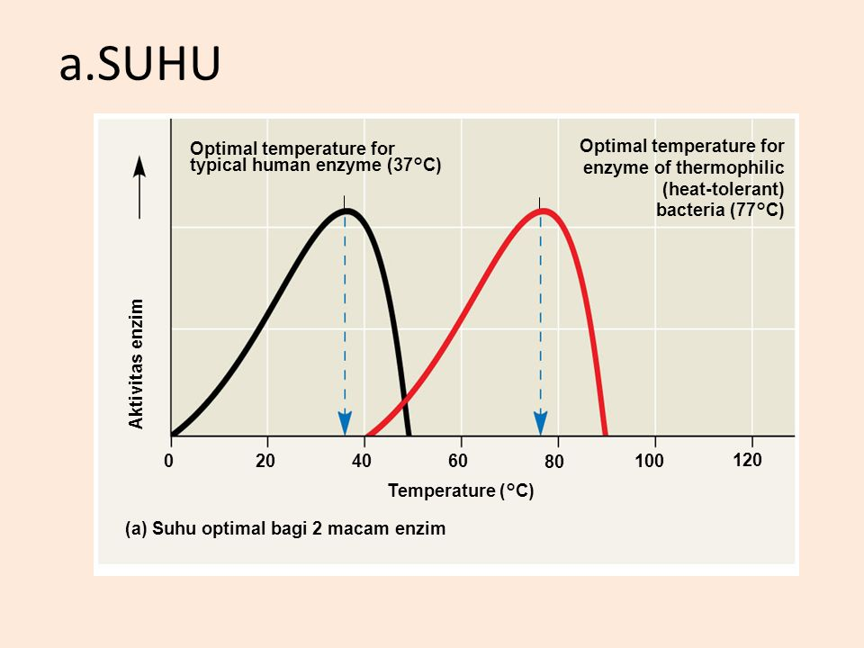 a.SUHU Optimal temperature for typical human enzyme (37°C)