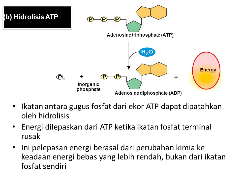 Energi dilepaskan dari ATP ketika ikatan fosfat terminal rusak