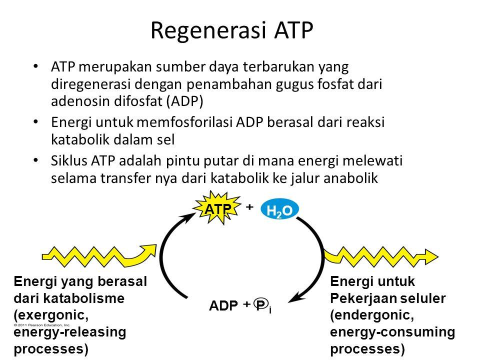 Regenerasi ATP ATP merupakan sumber daya terbarukan yang diregenerasi dengan penambahan gugus fosfat dari adenosin difosfat (ADP)