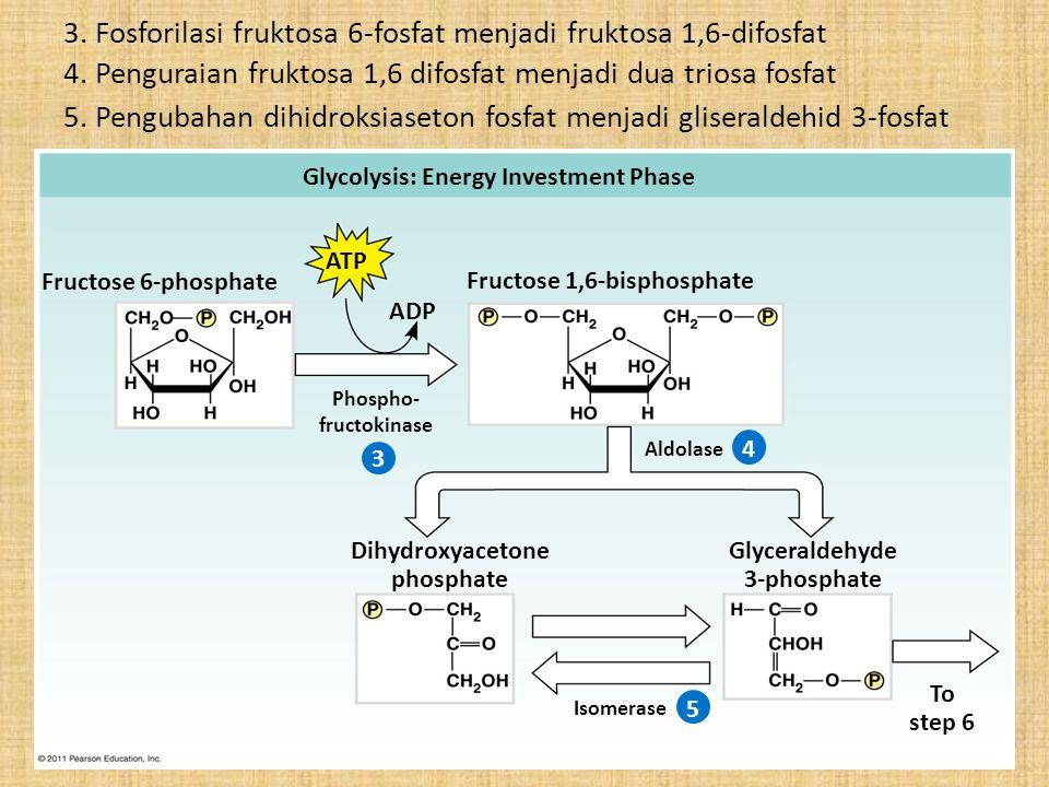 3. Fosforilasi fruktosa 6-fosfat menjadi fruktosa 1,6-difosfat