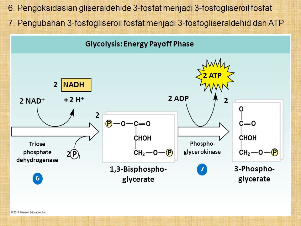 3-Phospho- glycerate 1,3-Bisphospho- glycerate