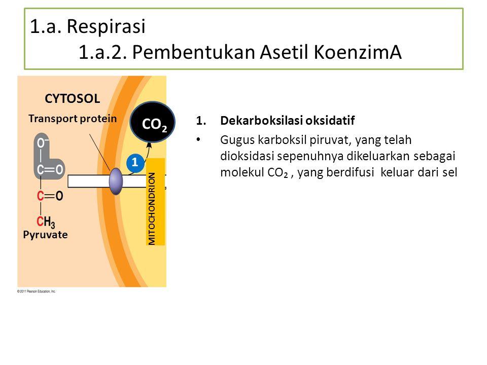 1.a. Respirasi 1.a.2. Pembentukan Asetil KoenzimA
