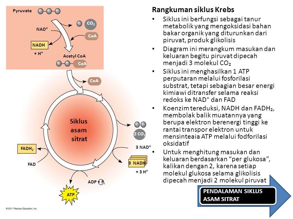 Rangkuman siklus Krebs