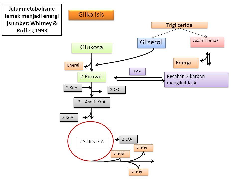 Jalur metabolisme lemak menjadi energi (sumber: Whitney & Roffes, 1993