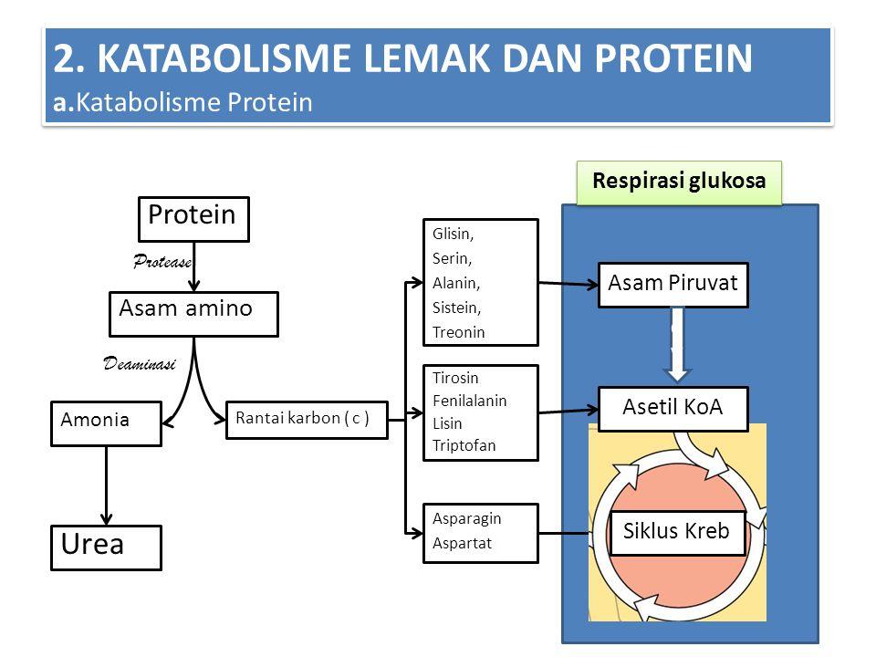 2. KATABOLISME LEMAK DAN PROTEIN a.Katabolisme Protein