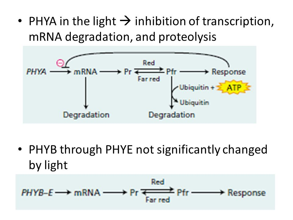 PHYA in the light  inhibition of transcription, mRNA degradation, and proteolysis