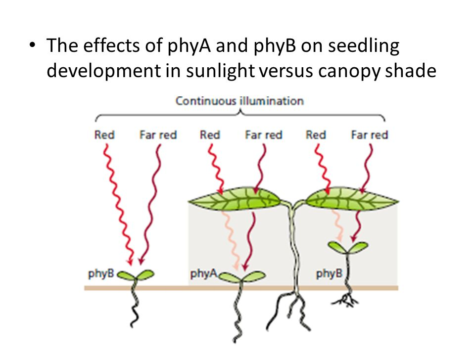 The effects of phyA and phyB on seedling development in sunlight versus canopy shade