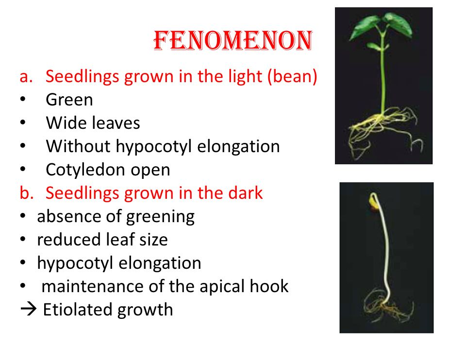 FENOMENON Seedlings grown in the light (bean) Green Wide leaves