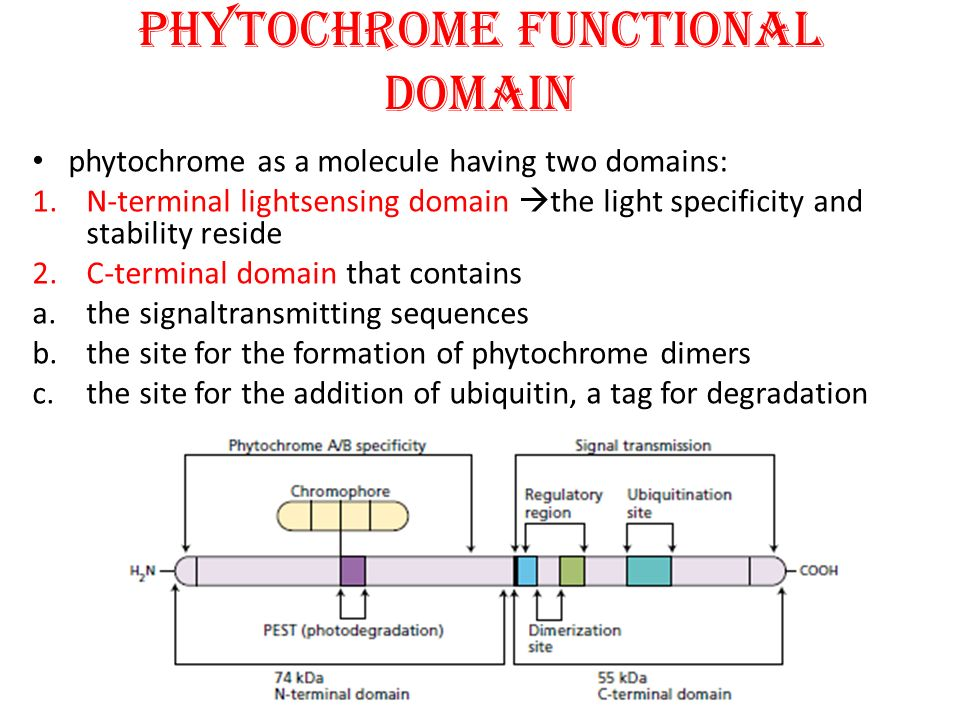PHYTOCHROME FUNCTIONAL DOMAIN