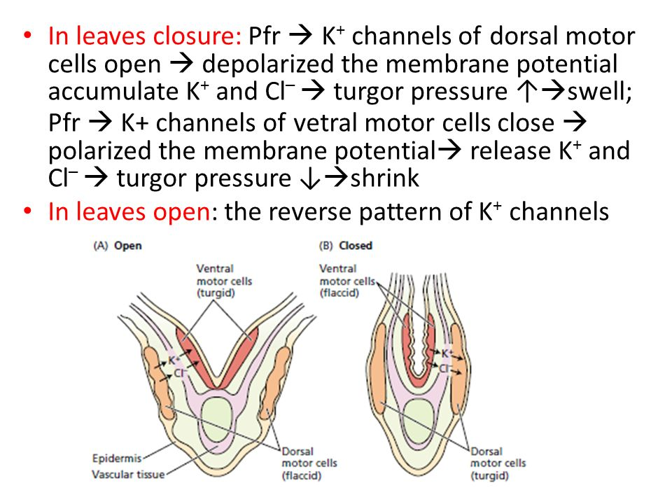 In leaves closure: Pfr  K+ channels of dorsal motor cells open  depolarized the membrane potential accumulate K+ and Cl–  turgor pressure ↑swell; Pfr  K+ channels of vetral motor cells close  polarized the membrane potential release K+ and Cl–  turgor pressure ↓shrink