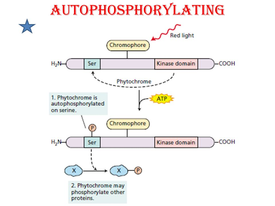 AUTOPHOSPHORYLATING