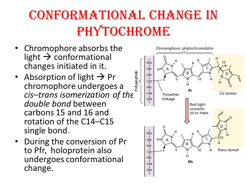 CONFORMATIONAL CHANGE IN PHYTOCHROME