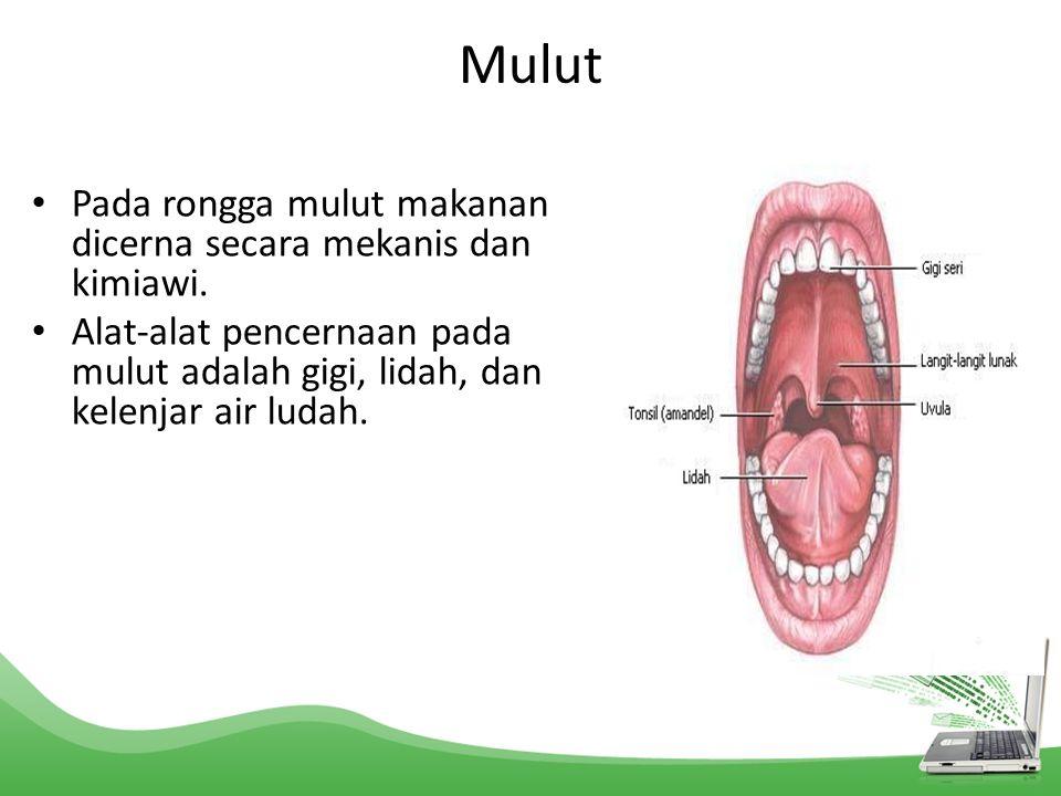 Mulut Pada rongga mulut makanan dicerna secara mekanis dan kimiawi.