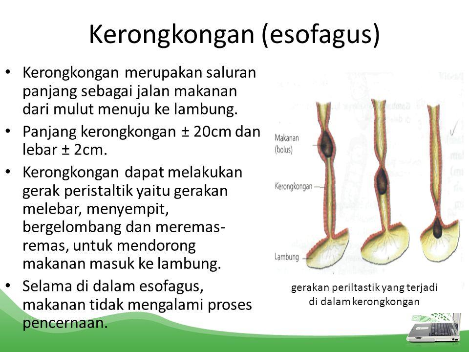Kerongkongan (esofagus)