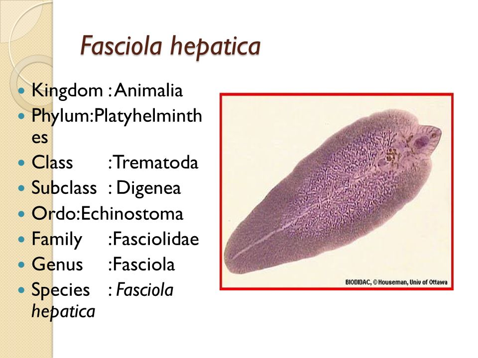 Fasciola hepatica Kingdom : Animalia Phylum:Platyhelminth es