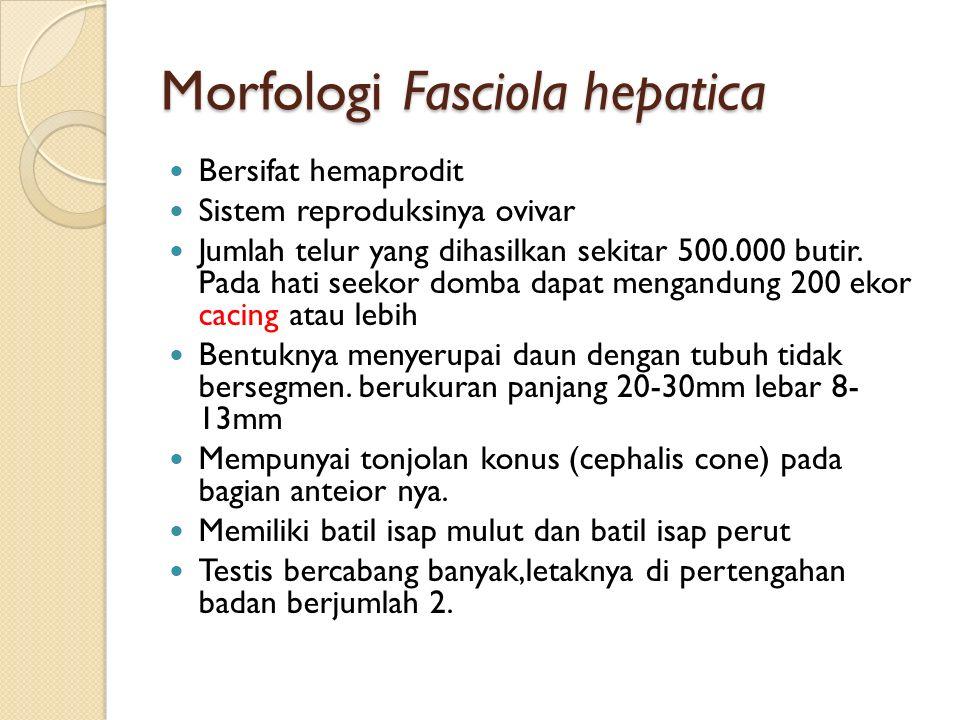 Morfologi Fasciola hepatica