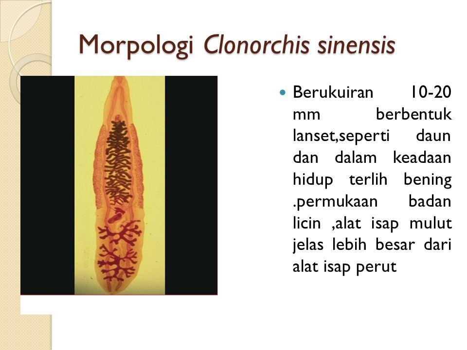 Morpologi Clonorchis sinensis