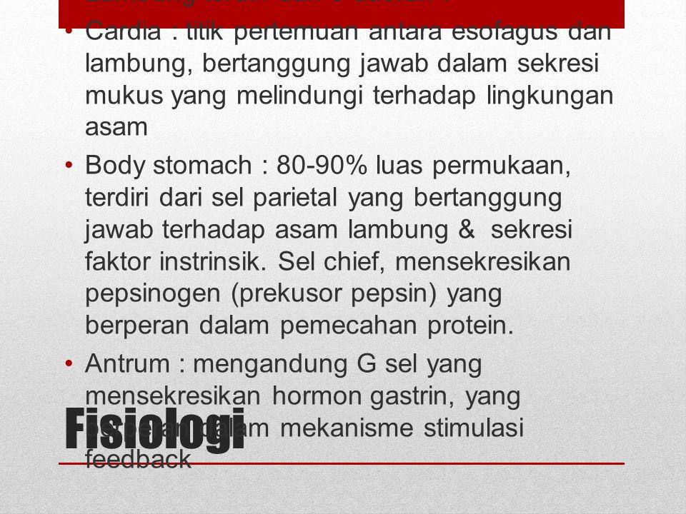Fisiologi Lambung terdiri dari 3 daerah :