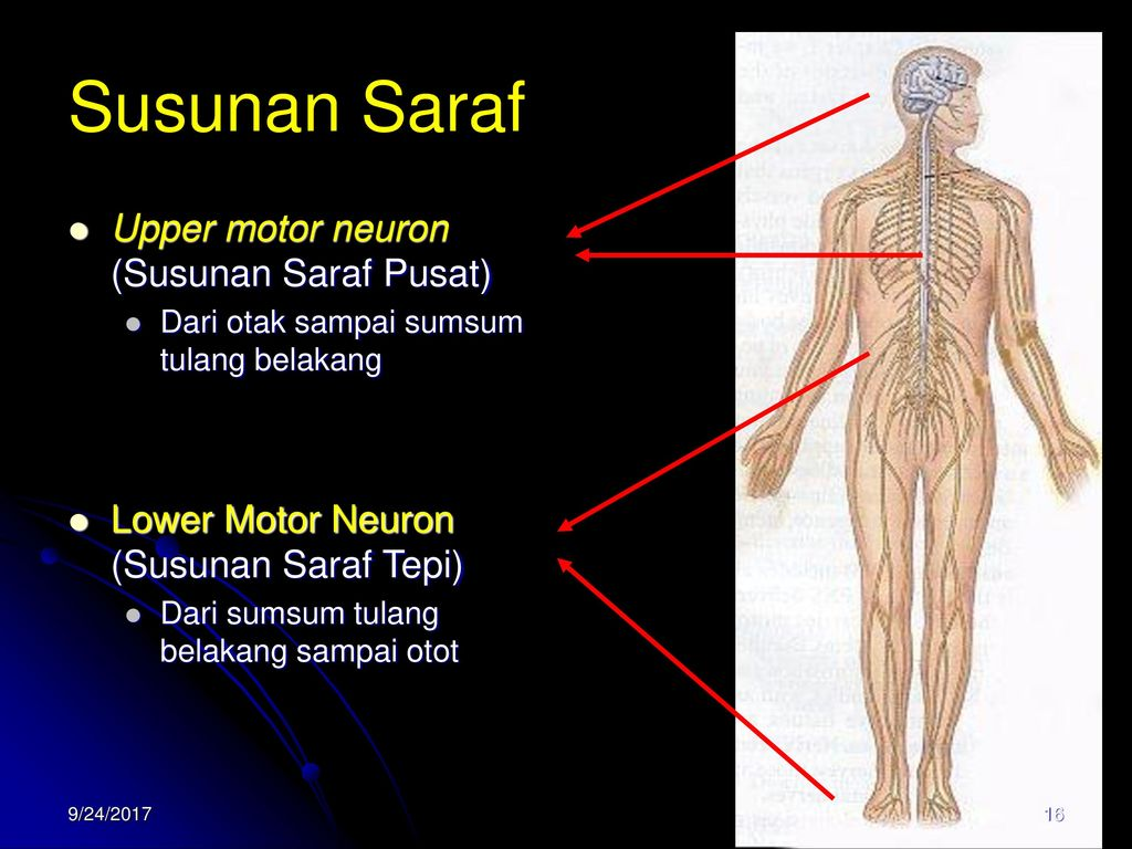 upper and lower motor neurons essay