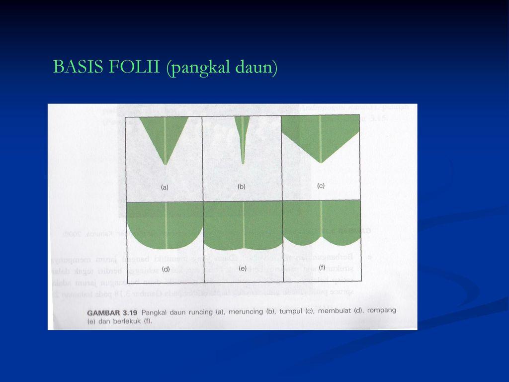 Morfologi daun d iii farmasi fakultas ilmu kesehatan um 29 basis folii pangkal daun ccuart Image collections