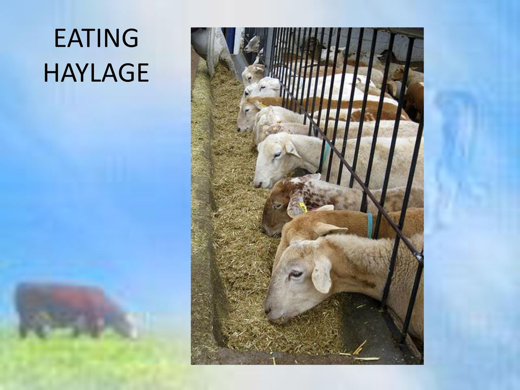 EATING HAYLAGE