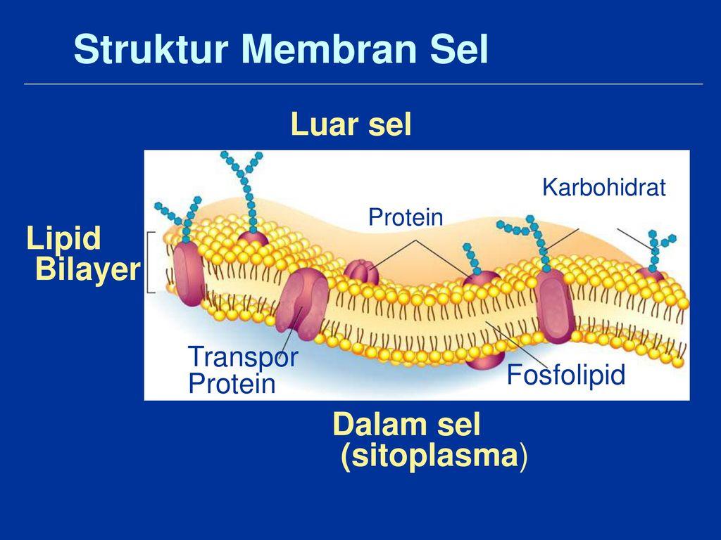 Membran sel ppt download struktur membran sel luar sel lipid bilayer dalam sel sitoplasma ccuart Choice Image