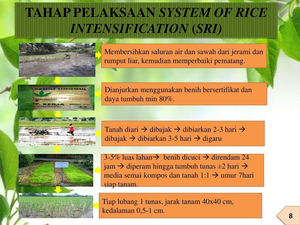 TAHAP PELAKSAAN SYSTEM OF RICE INTENSIFICATION (SRI)