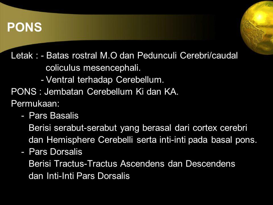 PONS Letak : - Batas rostral M.O dan Pedunculi Cerebri/caudal