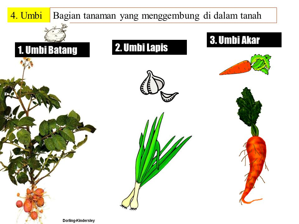 4. Umbi Bagian tanaman yang menggembung di dalam tanah 3. Umbi Akar 2. Umbi Lapis 1. Umbi Batang