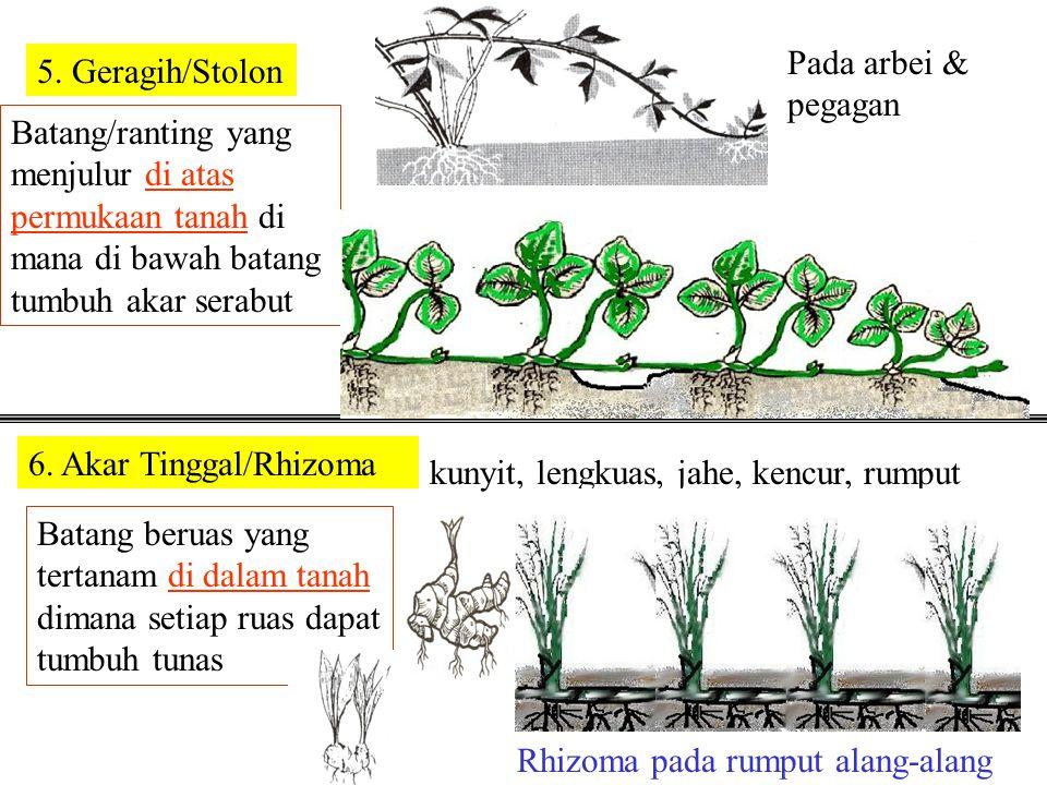 Pada arbei & pegagan 5. Geragih/Stolon. Batang/ranting yang menjulur di atas permukaan tanah di mana di bawah batang tumbuh akar serabut.