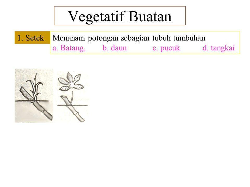 Vegetatif Buatan 1. Setek Menanam potongan sebagian tubuh tumbuhan