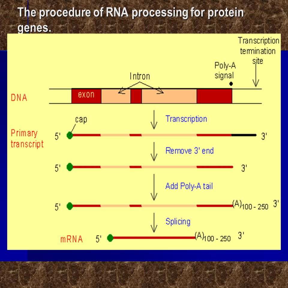 The procedure of RNA processing for protein genes.