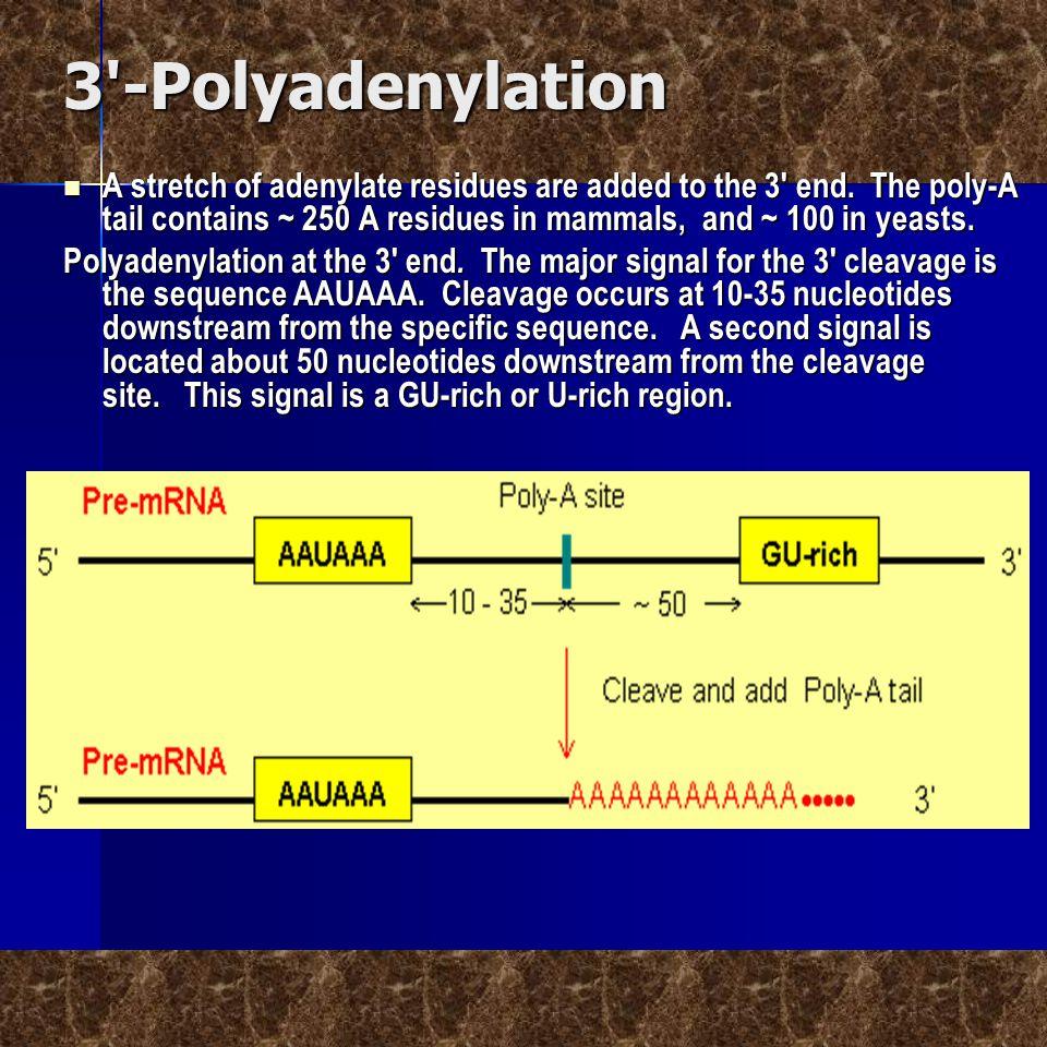 3 -Polyadenylation