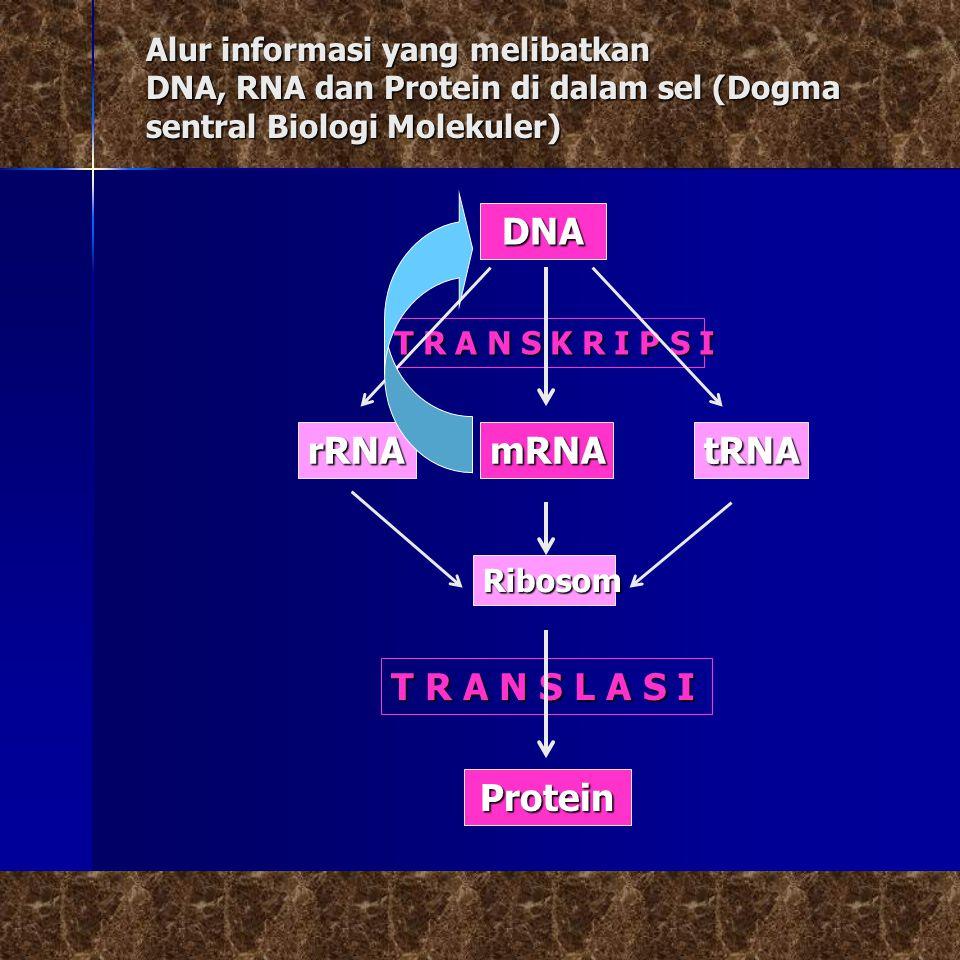 DNA rRNA mRNA tRNA T R A N S L A S I Protein