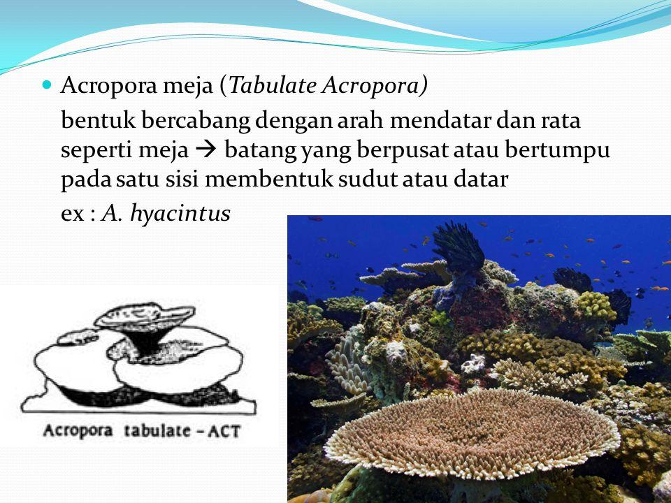 Acropora meja (Tabulate Acropora)