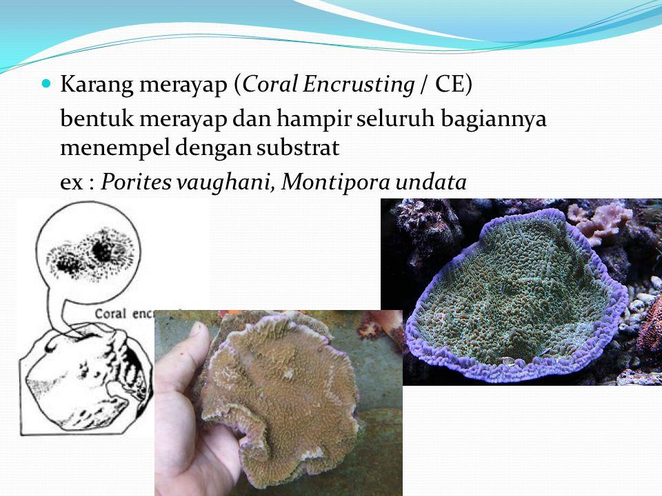 Karang merayap (Coral Encrusting / CE)