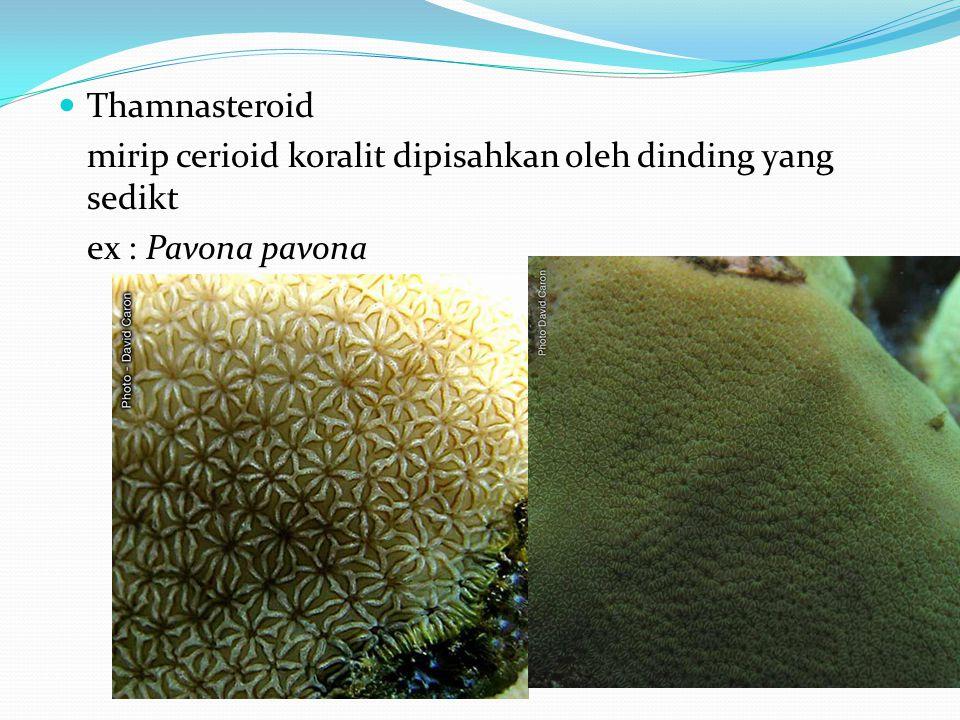 Thamnasteroid mirip cerioid koralit dipisahkan oleh dinding yang sedikt ex : Pavona pavona