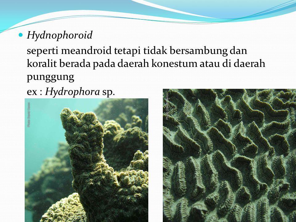 Hydnophoroid seperti meandroid tetapi tidak bersambung dan koralit berada pada daerah konestum atau di daerah punggung.