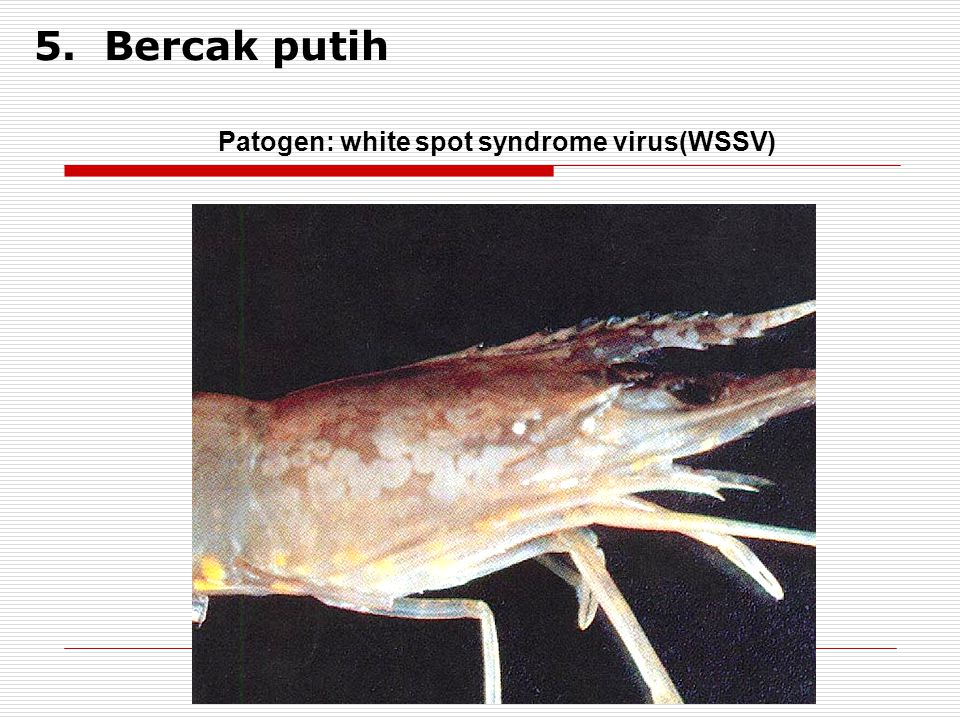 5. Bercak putih Patogen: white spot syndrome virus(WSSV)