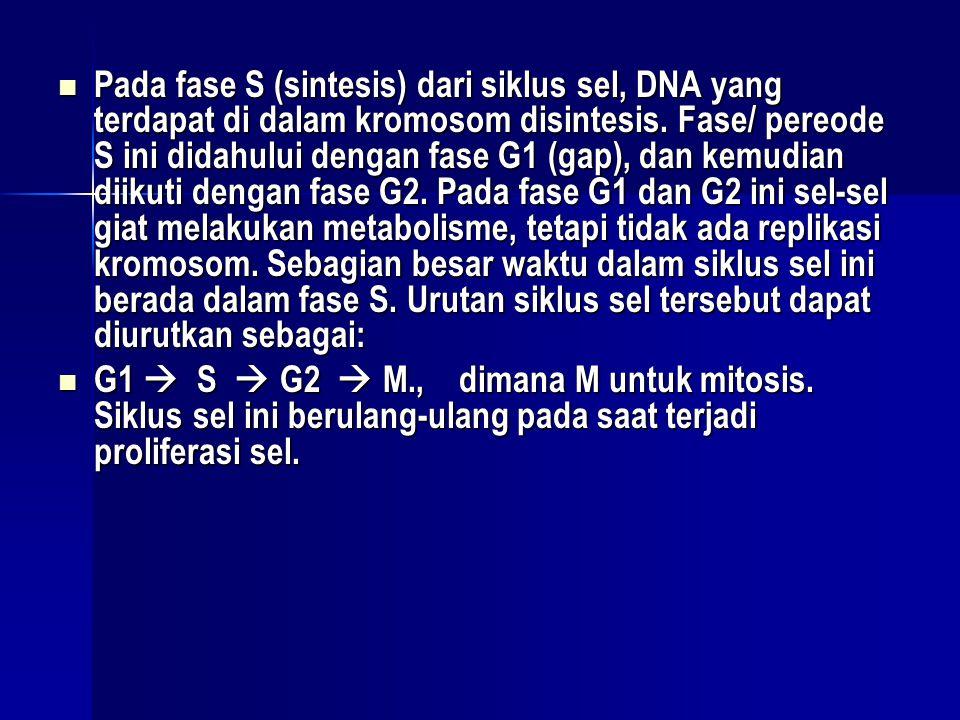Pada fase S (sintesis) dari siklus sel, DNA yang terdapat di dalam kromosom disintesis. Fase/ pereode S ini didahului dengan fase G1 (gap), dan kemudian diikuti dengan fase G2. Pada fase G1 dan G2 ini sel-sel giat melakukan metabolisme, tetapi tidak ada replikasi kromosom. Sebagian besar waktu dalam siklus sel ini berada dalam fase S. Urutan siklus sel tersebut dapat diurutkan sebagai: