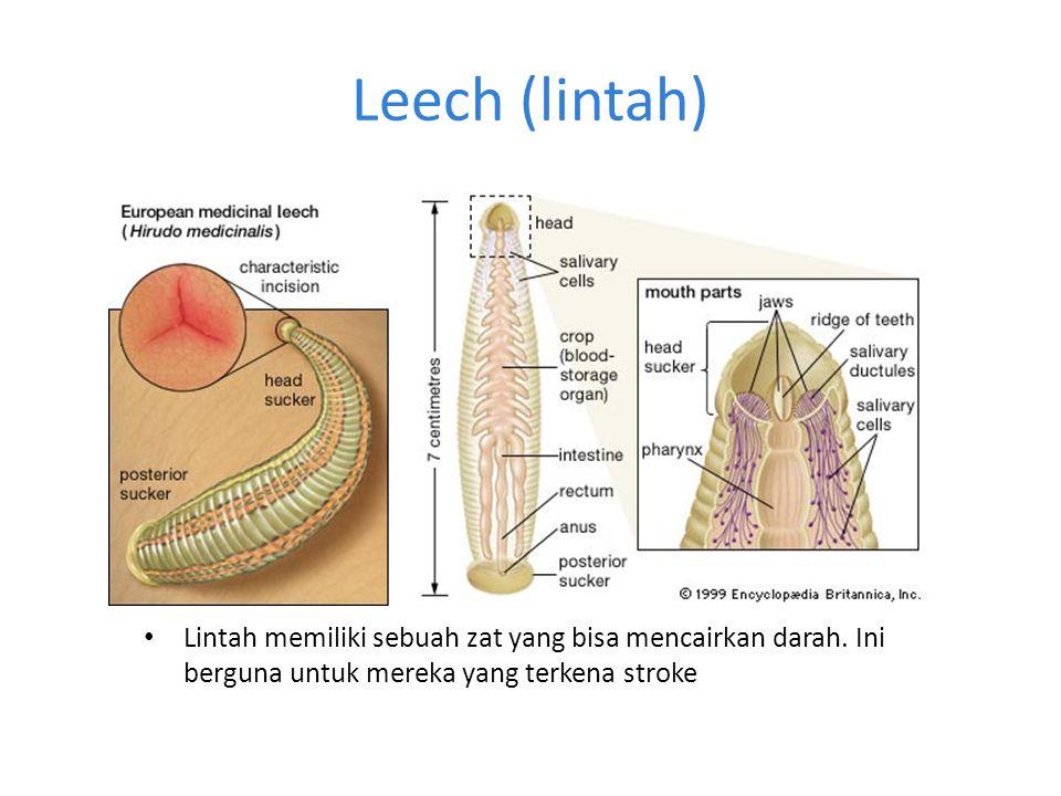 Leech (lintah) Lintah memiliki sebuah zat yang bisa mencairkan darah.