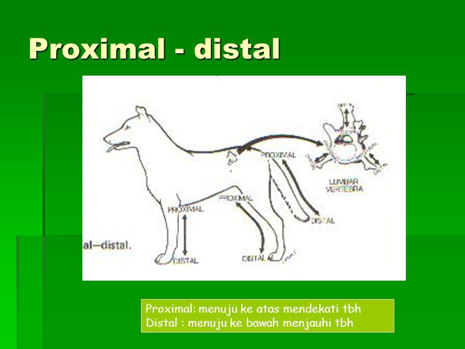 Proximal - distal Proximal: menuju ke atas mendekati tbh