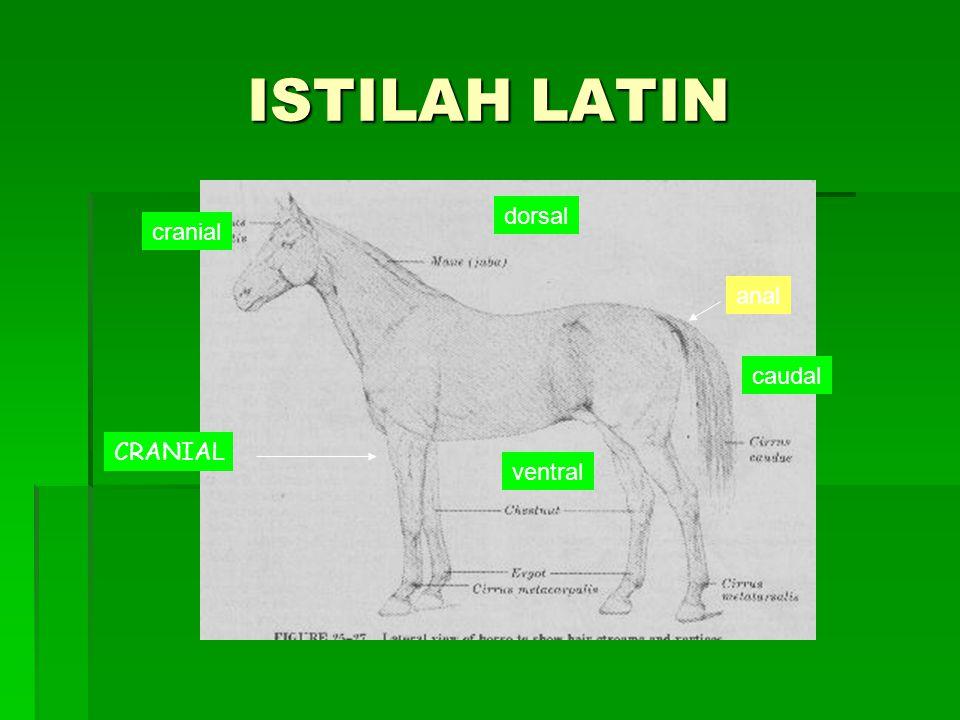 ISTILAH LATIN dorsal cranial anal caudal CRANIAL ventral