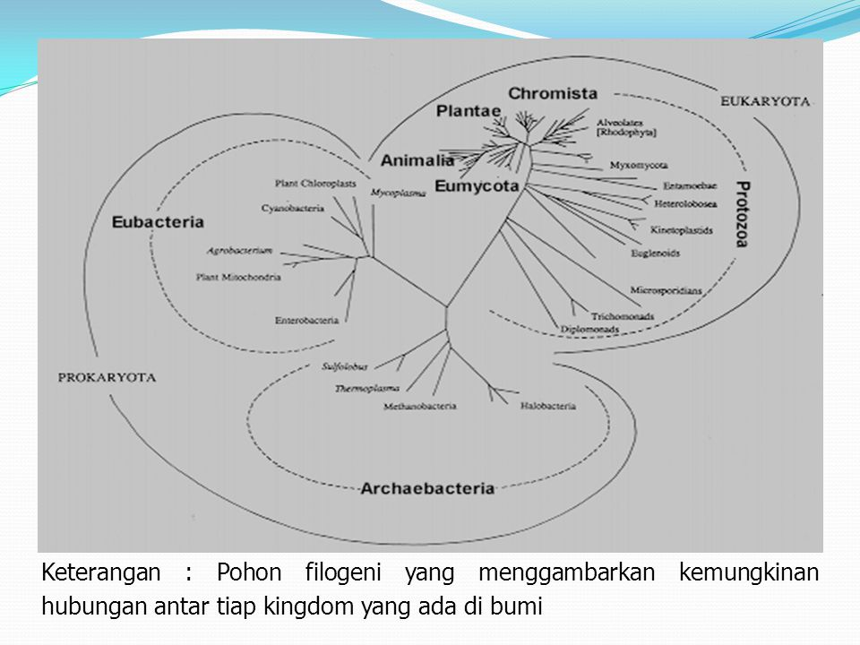 Keterangan : Pohon filogeni yang menggambarkan kemungkinan hubungan antar tiap kingdom yang ada di bumi