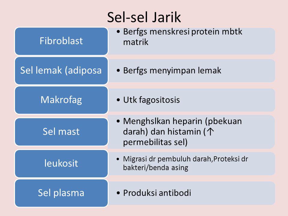Sel-sel Jarik Fibroblast. Berfgs menskresi protein mbtk matrik. Sel lemak (adiposa. Berfgs menyimpan lemak.