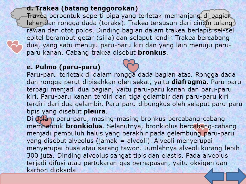 d. Trakea (batang tenggorokan)