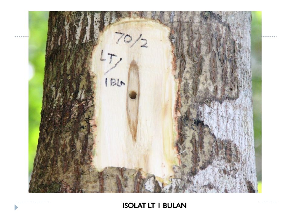 ISOLAT LT 1 BULAN
