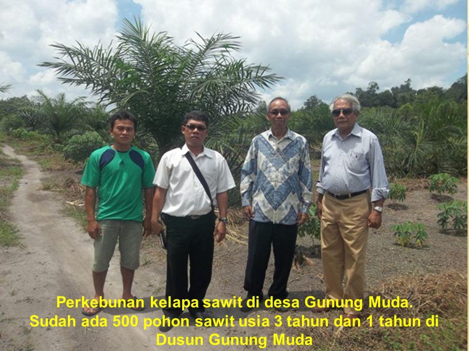 Perkebunan kelapa sawit di desa Gunung Muda.