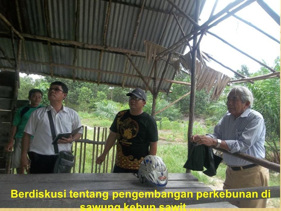 Berdiskusi tentang pengembangan perkebunan di sawung kebun sawit ....