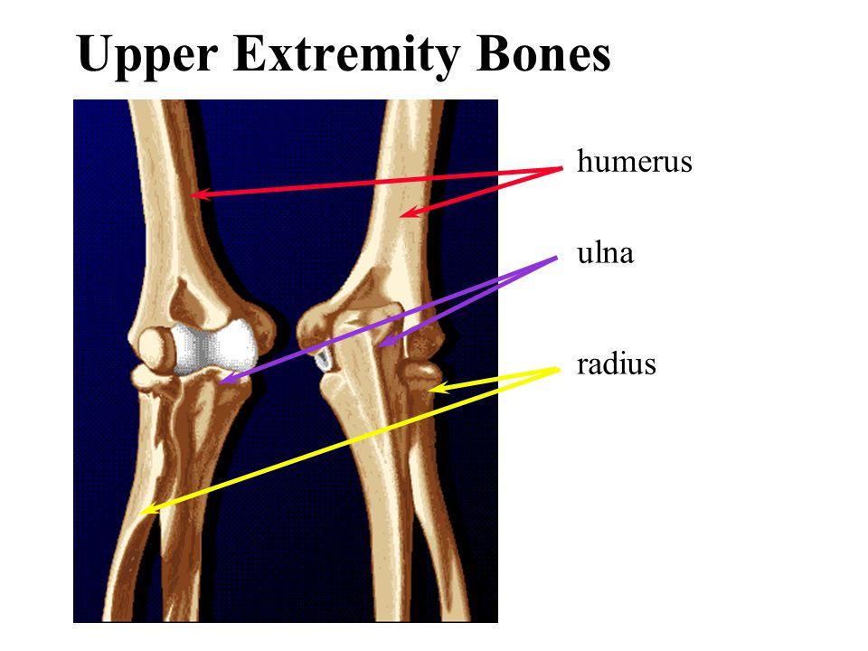 Upper Extremity Bones humerus ulna radius